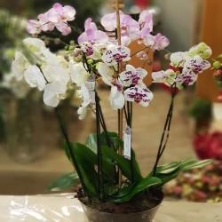 Centro 3 Orquídeas 6 varas