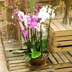 Centro 8 varas orquídeas