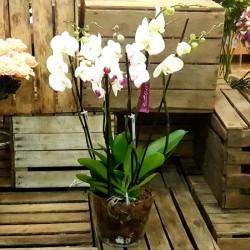 Centro 2 Orquídeas 4 varas...